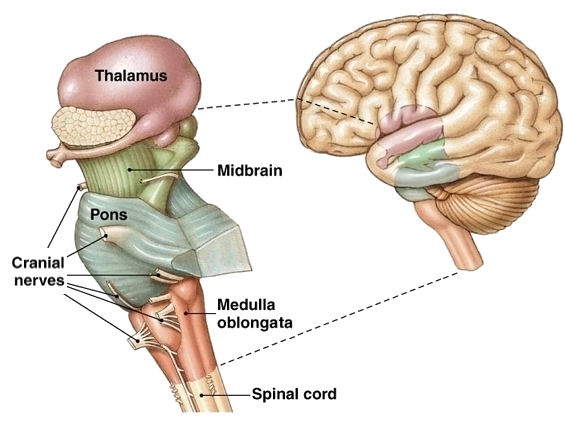 brain stem stroke, Human Body